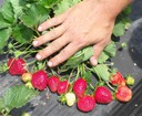 Multiple ripe strawberries on each plant of Steve Esh's.