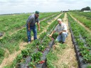 Ed Bulcher and Steve Esh in his strawberry field 2011