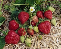 Nourse-Farms-strawberry.jpg