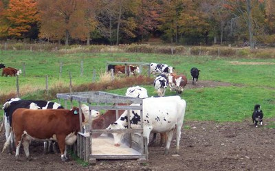 Kaschak's cattle